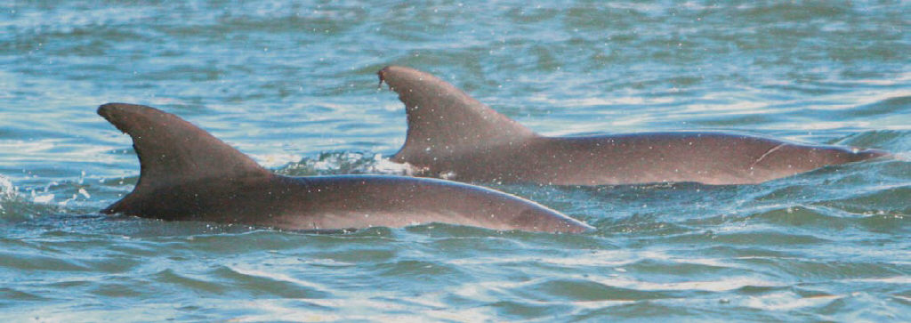 Dolphin Watch Be A Tourist At Home Port Aransas South Jetty